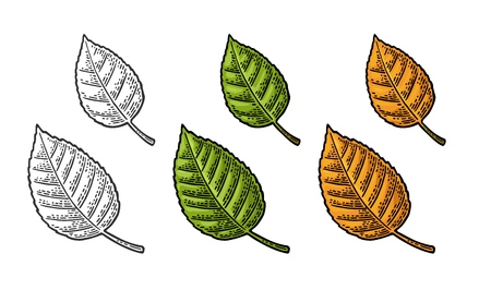 Linden leaf. Spring green and autumn orange. Vector color and monochrome vintage engraved illustration. Isolated on white background 일러스트