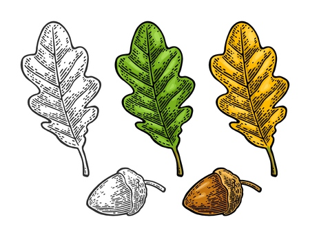 Oak leaf and acorn. Spring green and autumn orange. Vector color and monochrome vintage engraved illustration. Isolated on white background