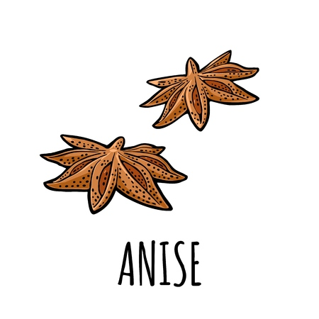 Anise spice fruit with seed. Isolated on white background. Vector black vintage engraving illustration. Hand drawn design for label and poster