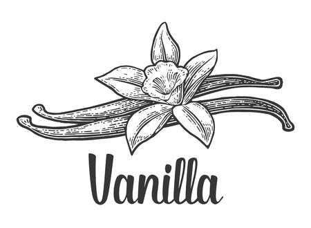 Vanilla stick and flower. Isolated on white background. Vector black vintage engraved illustration. Hand drawn design element and lettering for label and poster Ilustração
