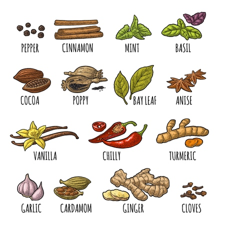 Set spices. Black pepper, cinnamon, turmeric, mint, cloves, cocoa, poppy, chilli, vanilla, bay leaf, anise, garlic, cardamom, ginger. Vector color vintage engraving illustration isolated on white Vettoriali