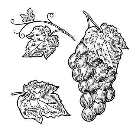 Weintraube mit Beeren und Blättern. Weinlesegravurvektor Vektorgrafik