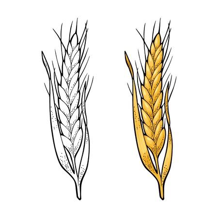 Spiga di grano. Isolato su sfondo bianco. Colore dell'annata di vettore e illustrazione incisione monocromatica. Elemento di design disegnato a mano