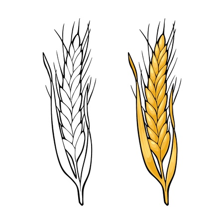Ear of wheat. Isolated on white background. Vector vintage color and monochrome illustration. Hand drawn design element Ilustração