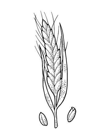 Oor van tarwe. Geïsoleerd op een witte achtergrond. Vector vintage zwart-wit gravure illustratie. Handgetekend ontwerpelement