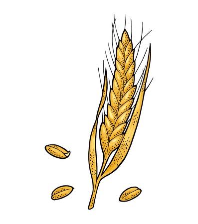 Spiga di grano. Isolato su sfondo bianco. Illustrazione di colore dell'annata di vettore. Elemento di design disegnato a mano Vettoriali