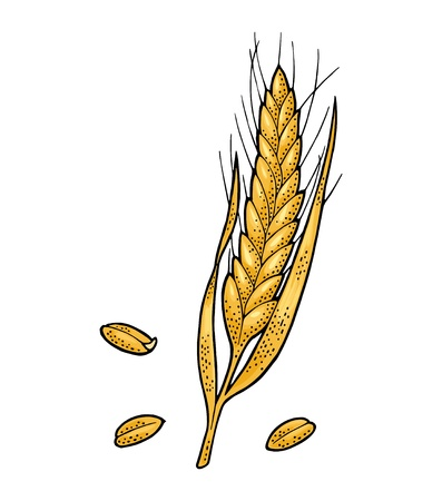 Ear of wheat. Isolated on white background. Vector vintage color illustration. Hand drawn design element