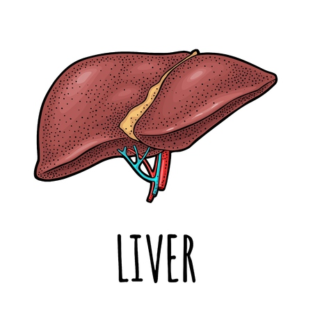 Human anatomy liver. Vector color vintage engraving illustration isolated on a white background. Hand drawn design element for label, poster, web, poster, info graphic.