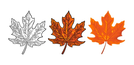 Maple leaf. Vector color vintage engraving and flat illustration. Isolated on white background