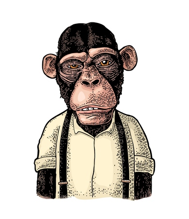 Monkey businessman dressed in the shirt and suspender. Vintage color engraving illustration for poster. Isolated on white background Illustration