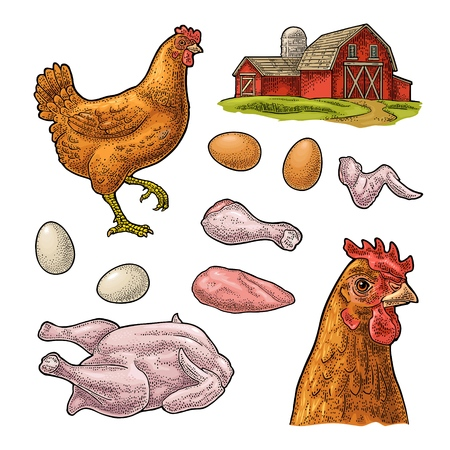 Set chicken. Whole hat, leg, wing, egg and farm. Vintage color vector engraving illustration for poster and label. Isolated on white background.