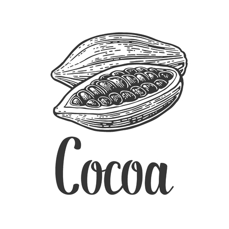 Fruits of cocoa beans. Vector vintage engraved illustration Stockfoto