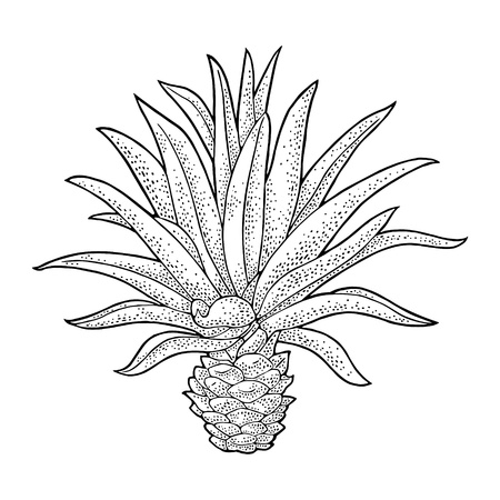 Cactus blue agave. Vintage vector engraving illustration for label, poster, web. Isolated on white background