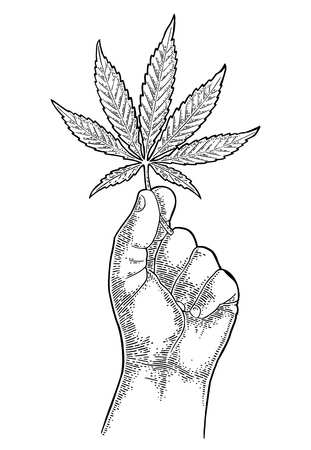 Male hand holding marijuana leaf. Engraving vintage vector black illustration. Isolated on white background. Hand drawn design element for label and poster