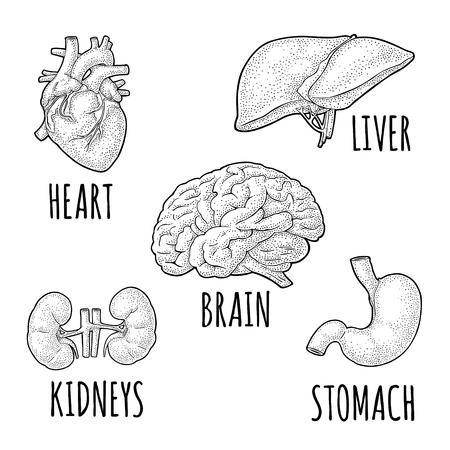 Organe der menschlichen Anatomie. Gehirn, Niere, Herz, Leber, Magen. Vektorgravur Vektorgrafik