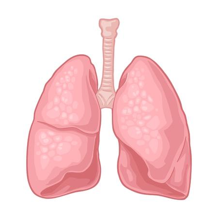 Poumons de l'anatomie humaine. Illustration de plat de couleur vectorielle isolée sur fond blanc. Élément de design dessiné à la main pour étiquette, affiche, web, affiche, graphique d'informations.