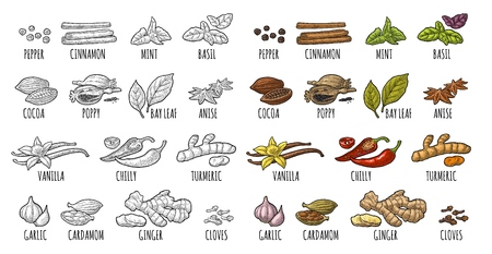 Set spices. Black pepper, cinnamon, turmeric, mint, cloves, cocoa, poppy, chilli, vanilla, bay leaf anise garlic cardamom ginger Vector color vintage engraving illustration isolated on white