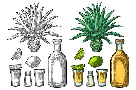 Glass and bottle of tequila. Cactus blue agave, salt and lime. Hand drawn sketch set of alcoholic cocktails. Vintage color and black vector engraving illustration for label, poster. Isolated on white