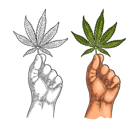 Male hand holding marijuana leaf. Engraving vintage vector color illustration. Isolated on white background. Hand drawn design element for label and poster Illustration