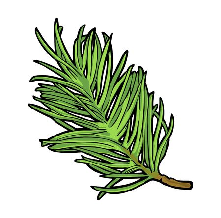 Branch of fir tree. Isolated on white background. Vector vintage color engraving illustration.