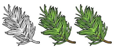 Branch of fir tree. Vector vintage color engraving illustration.