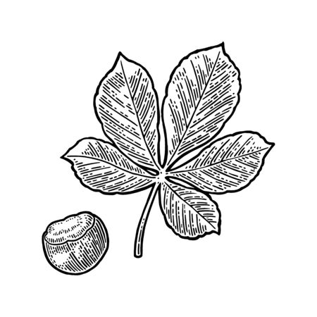 Chestnut leaf and nut. Vector vintage engraved illustration. Isolated on white background