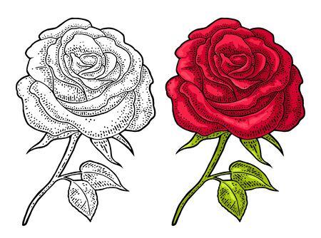 Rose flower with leaf. Color engraving vintage illustration on white