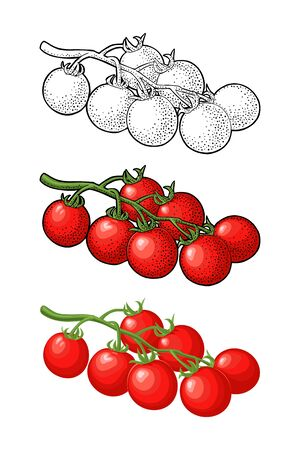 Whole tomato. Vector engraved and flat illustration isolated on white