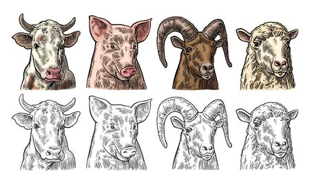 Farm animals. Pig, cow, sheep and goat heads isolated on white background. Vector color vintage engraving illustration for label. Hand drawn in a graphic style. 向量圖像