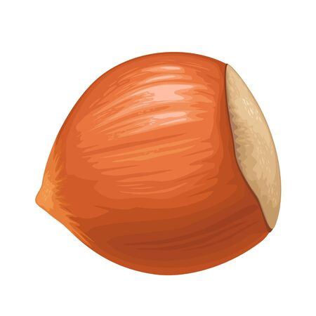Closeup hazelnut in shell. Vector color realistic illustration. Isolated on white background.