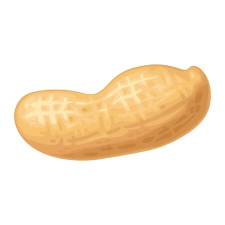Closeup peanut in shell. Vector color realistic illustration. Isolated on white background.