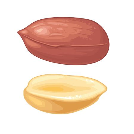 Set whole and half peanut seed. Vector color realistic illustration. Isolated on white background.