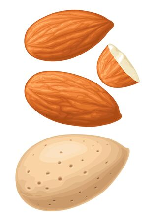 Closeup almond nut in shell. Vector color realistic illustration. Isolated on white background.