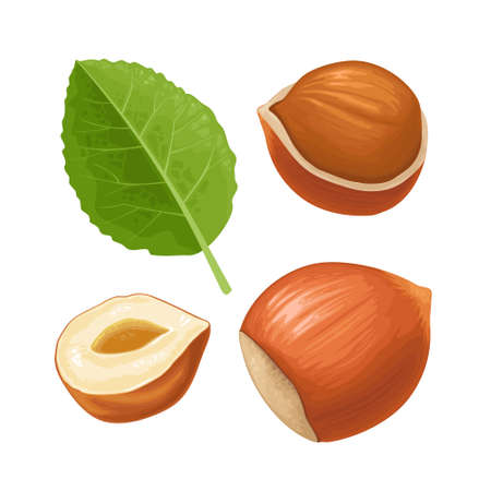 Set whole and half hazelnut with green leaves. Vector color realistic illustration. Isolated on white background.