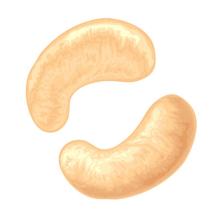 Two whole cashew nuts. Vector color realistic illustration. Isolated on white background. Ilustração Vetorial