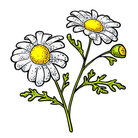 Chamomile flower with leaves. Engraving color vintage vector illustration isolated on white background.