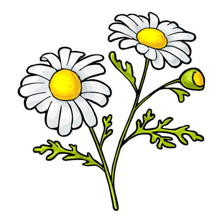 Chamomile flower with leaves. Color vintage vector illustration isolated on white background.
