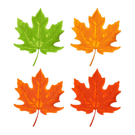 Maple leaf. Spring green and autumn orange. Vector color illustration. Isolated on white background