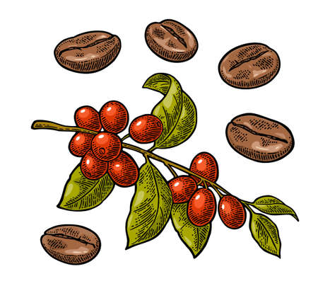 Coffee branch with leaf, berry and beans. Hand drawn sketch style. Vintage color vector engraving illustration for label, web. Isolated on white background.