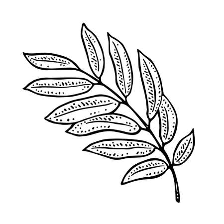 Rowan leaf. Vector color vintage engraving illustration. Isolated on white background