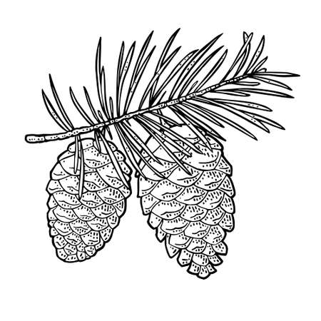 Pine cone and branch of fir tree. Vector vintage black engraving illustration. Isolated on white background.