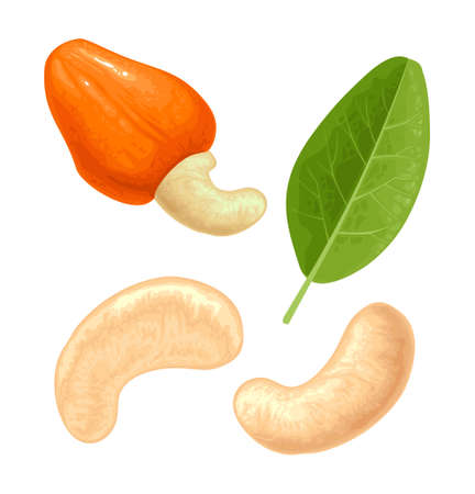 Cashew nut with fetus and leaf. Vector color realistic illustration. Isolated on white background.