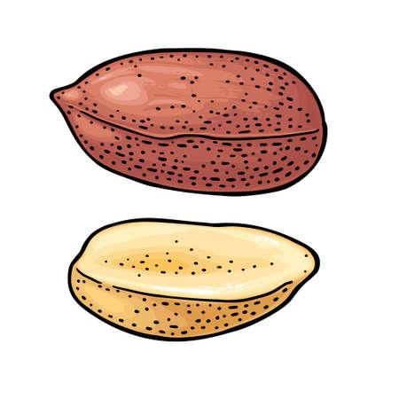 Whole and half peanut seed. Vector engraving color vintage illustration. Isolated on white background. Ilustração