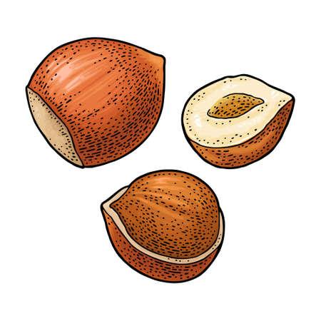Set whole and half hazelnut. Vector color engraving vintage illustration. Isolated on white background.