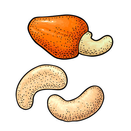 Cashew nut with fetus. Vector engraving color vintage illustration. Isolated on white background.