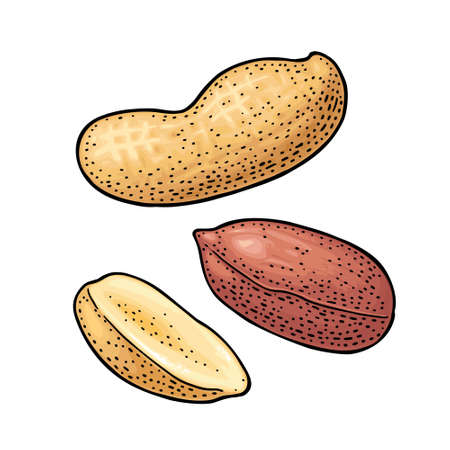 Whole and half peanut seed with and without shell. Vector engraving color vintage illustration. Isolated on white background. Ilustração