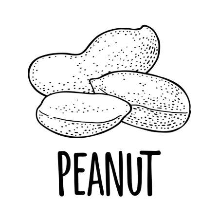 Whole and half peanut seed with and without shell. Vector engraving black vintage illustration. Isolated on white background. Ilustração Vetorial