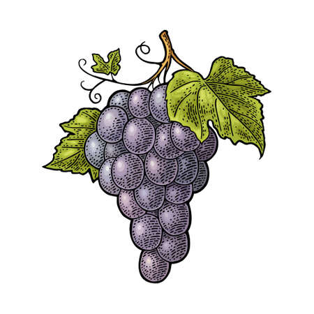 Bunch of grapes with berry and leaves. Vintage color engraving vector illustration for label, poster, web. Isolated on white background. Hand drawn design element for label and poster