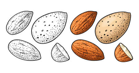 Whole and half half almonds nuts with and without shell. Vector engraving color vintage illustration. Isolated on white background. Ilustração