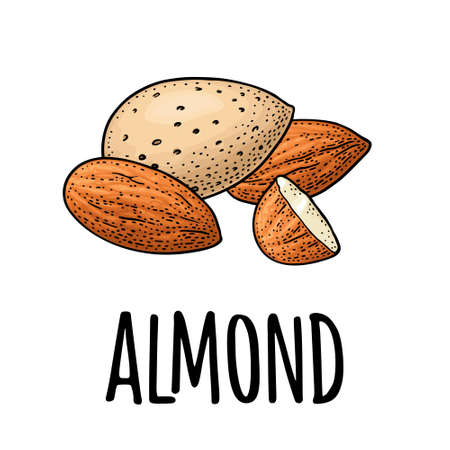 Whole and half half almonds nuts with and without shell. Vector engraving color vintage illustration. Isolated on white background. 向量圖像